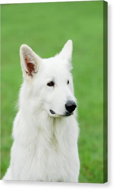 White Swiss Shepherd Dog Canvas Print by Waldek Dabrowski