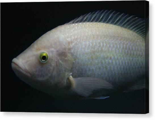White Tilapia With Yellow Eyes Canvas Print