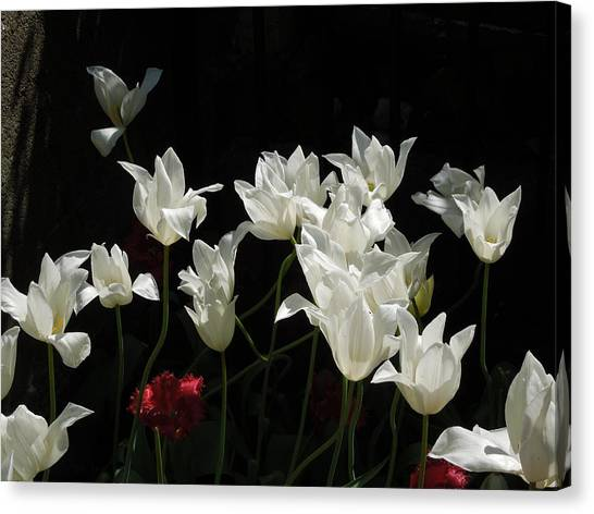 White Tulips On Black Canvas Print
