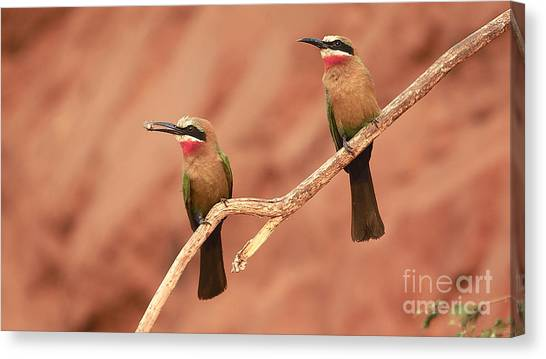 Whitefronted Bee-eaters Canvas Print
