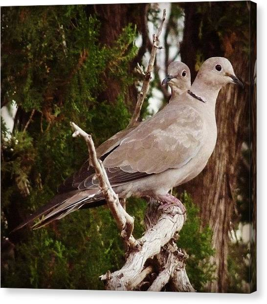 Dove Canvas Print - #white_wing_dove #dove #bird #texas by J Z