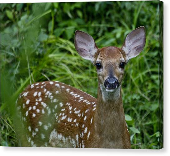 White-tailed Deer Canvas Print - Who Are You by Betsy Knapp