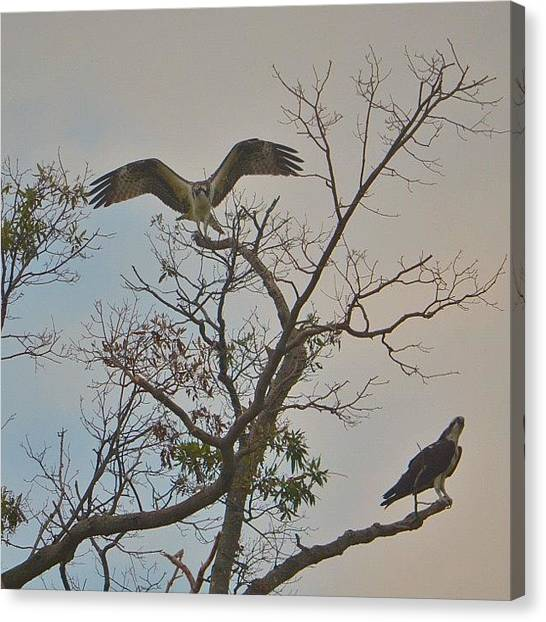 Osprey Canvas Print - Who Are You Calling Flamboyant by Penni D'Aulerio