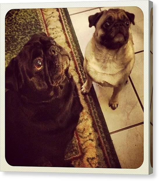 Pugs Canvas Print - Who Could Say No To Those #faces 💗 by Katrina A