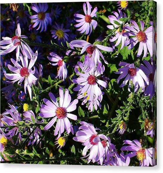 Wild Asters Canvas Print by Bruce Bley