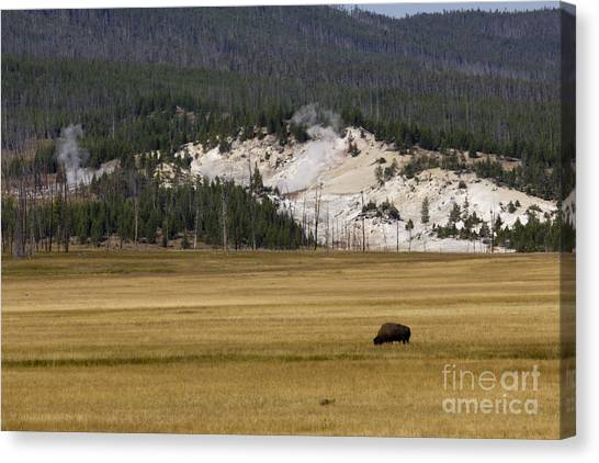 Yellowstone National Park Canvas Print - Wild Buffalo Yellowstone National Park by Dustin K Ryan