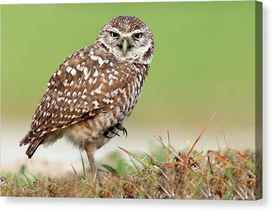 Owls Canvas Print - Wild Burrowing Owl Balancing On One Leg by Mlorenzphotography