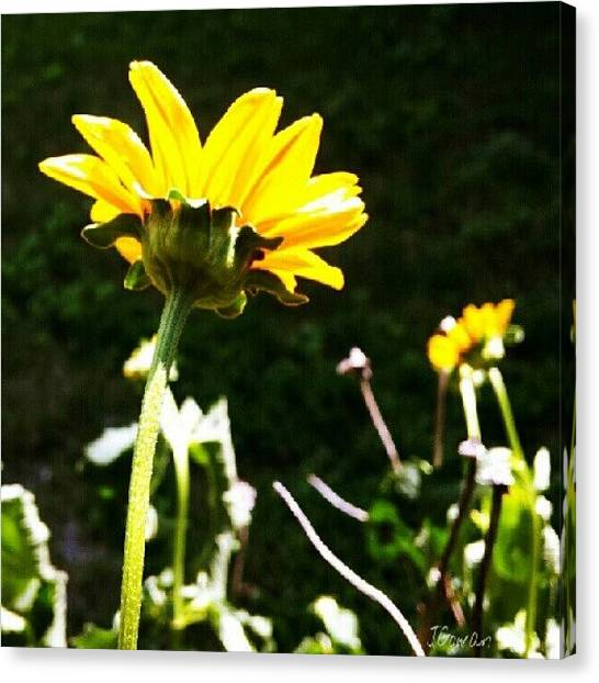 Social Canvas Print - Wild Flower. #wild #wildflower #yellow by Jess Gowan