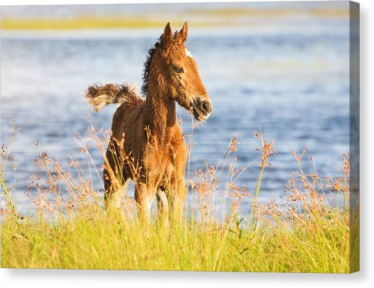 Wild Foal Canvas Print