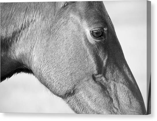Wild Horse Intimate Canvas Print