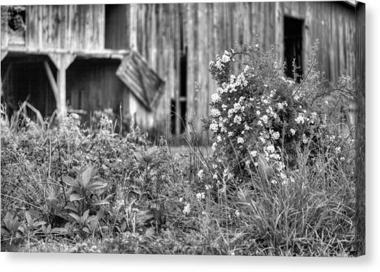 Wild Roses Bw Canvas Print by JC Findley
