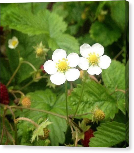 Berries Canvas Print - Wild Strawberry Flower #flower #flowers by Anita Callister Jones