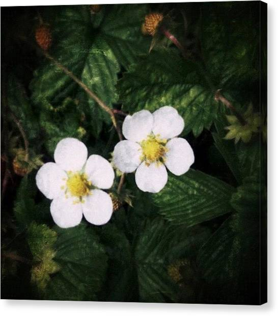 Berries Canvas Print - Wild Strawberry Flowers #flower by Anita Callister Jones