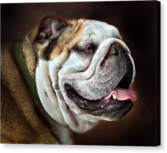Willie Loves Me An English Bulldog Canvas Print by Dorothy Walker