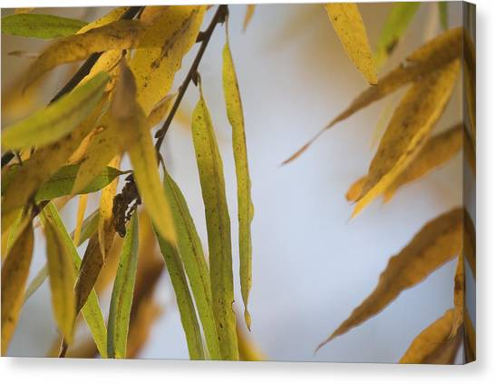Willow Fall Leaves Canvas Print