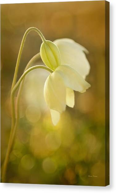 Wind Flowers In Evening Light Canvas Print