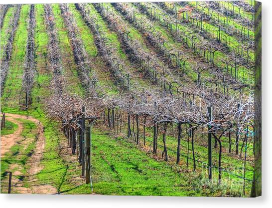 Winery Vineyard Canvas Print by Kelly Wade