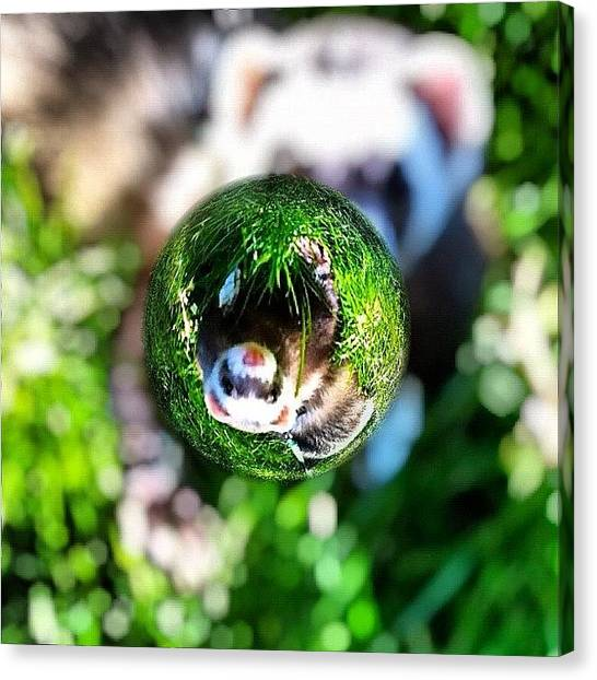 Apples Canvas Print - Winnie - A Ferret In A Marble by Anna Porter