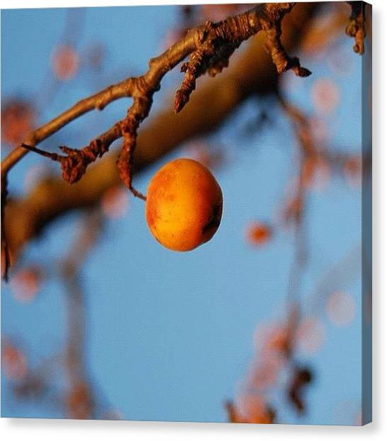 Fruit Trees Canvas Print - Winter Fruit by Colin Mccoy