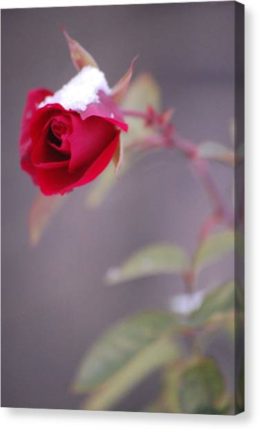 Winter Rose Canvas Print by Dickon Thompson
