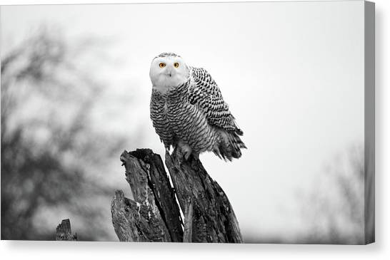 Winter Snowy Owls Canvas Print by Pierre Leclerc Photography