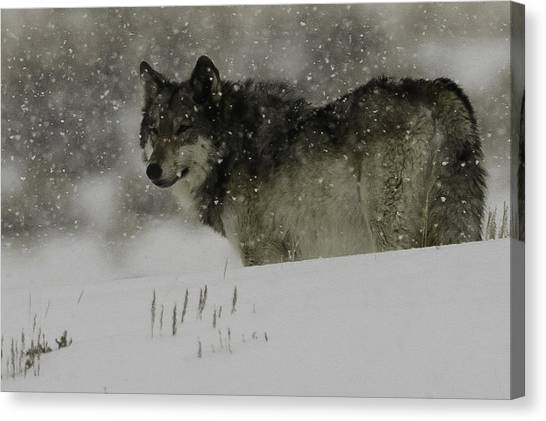 Winter Wolf #1 Canvas Print by Kenneth McElroy