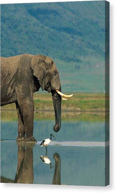 And Threatened Animals Canvas Print - With A Sacred Ibis Threskiornis by Beverly Joubert