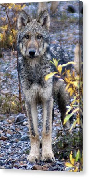 Wolf Cub In Denali Canvas Print by Jim and Kim Shivers