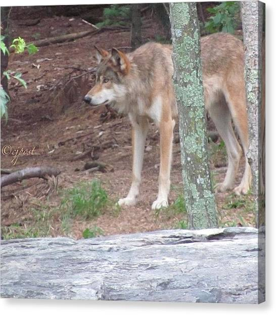 Wolves Canvas Print - #wolf #longlegs by Cynthia Post