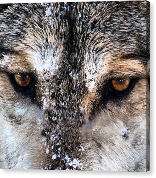 Wolves Canvas Print - Wolf Stare by Kim Gourlay