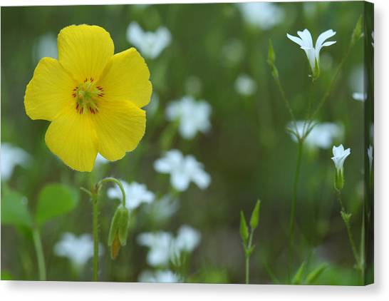 Wood Sorrel And Sandwort Canvas Print