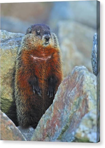 Groundhogs Canvas Print - Woodchuck by Tony Beck