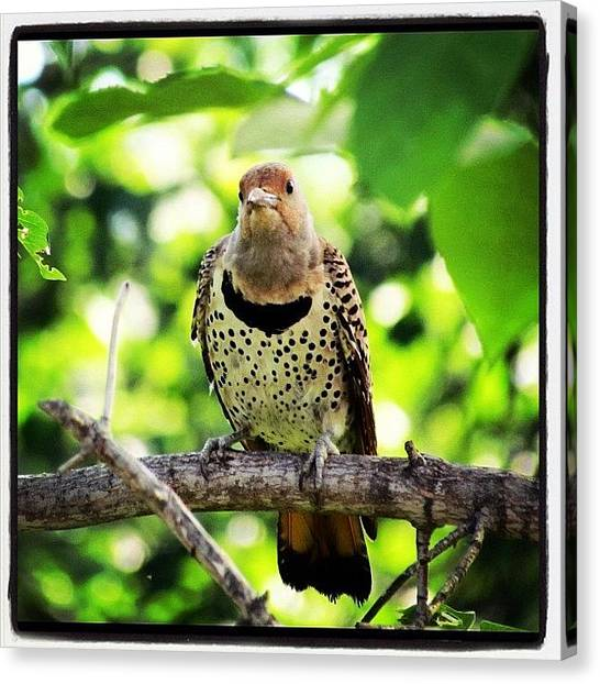 Woodpeckers Canvas Print - Woody Woodpecker #woodpecker #hi by Avril O
