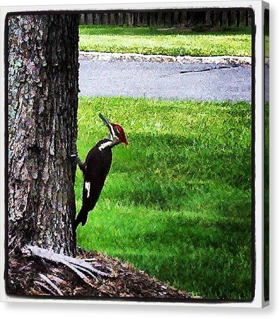Woodpeckers Canvas Print - Woody Woodpecker's Family Has by Susan Neufeld