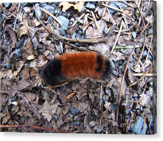 Wooly Bear Caterpillar Canvas Print