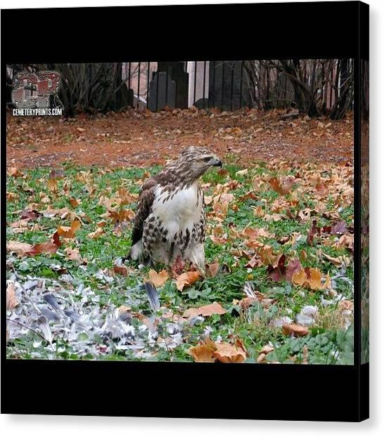 Hawks Canvas Print - Yeah Just Chilling Here Earing My by Sid Graves