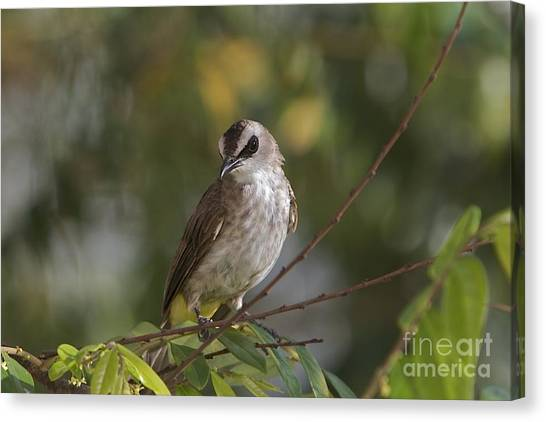 Yellew Vented Bul Bul  Canvas Print