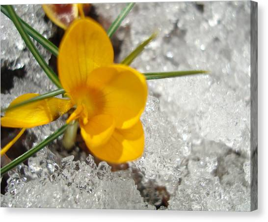 Yellow Crocus Canvas Print by Kim French