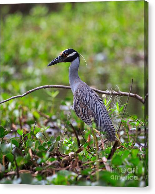 Atchafalaya Basin Canvas Print - Yellow-crowned Night Heron by Louise Heusinkveld