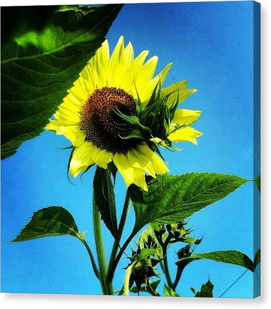 Sunflowers Canvas Print - Yellow Dancer by Jermaine Young