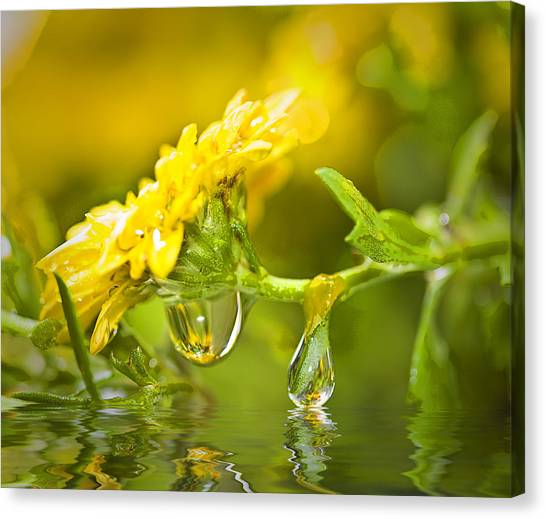 Yellow Drop Canvas Print by Trudy Wilkerson