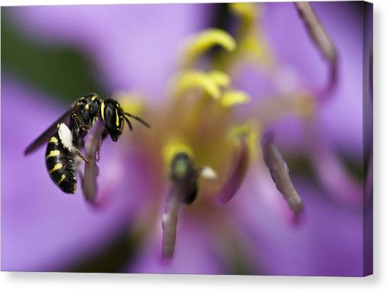 Yellow Faced Bee Canvas Print