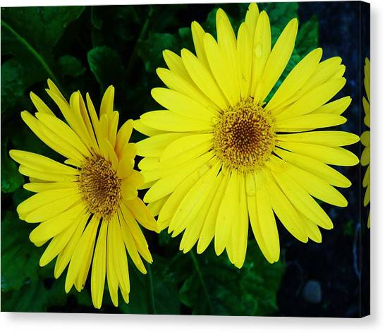 Yellow Gerbers Canvas Print by Jeanette Oberholtzer