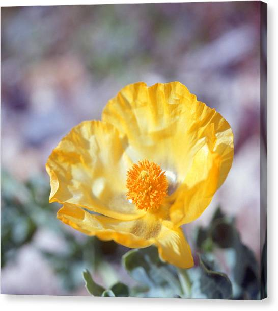Yellow Horned Poppy  Canvas Print