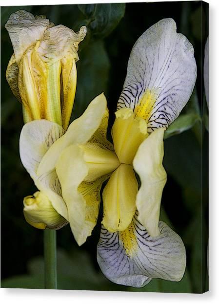 Yellow Iris Canvas Print by Michael Friedman