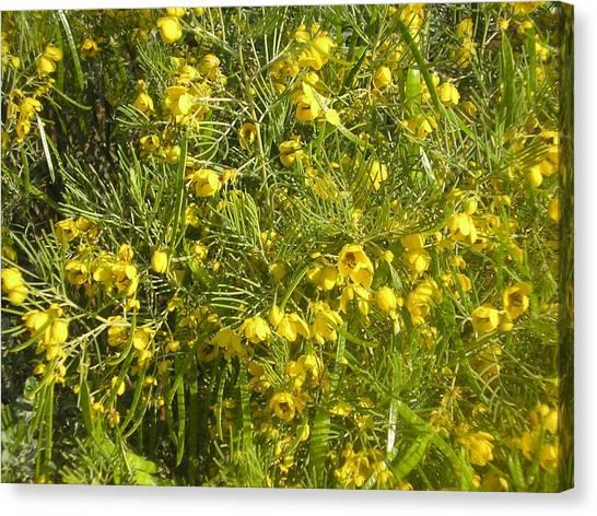 Yellow Mesquite Canvas Print