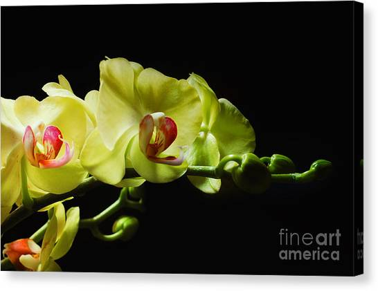 Yellow Orchids Canvas Print by Elaine Manley