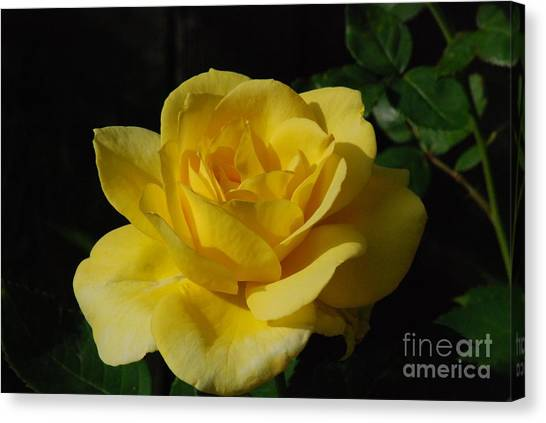 Yellow Rose Close Up Canvas Print