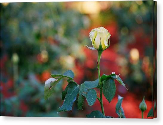 Yellow Rose Canvas Print by Timothy Turner
