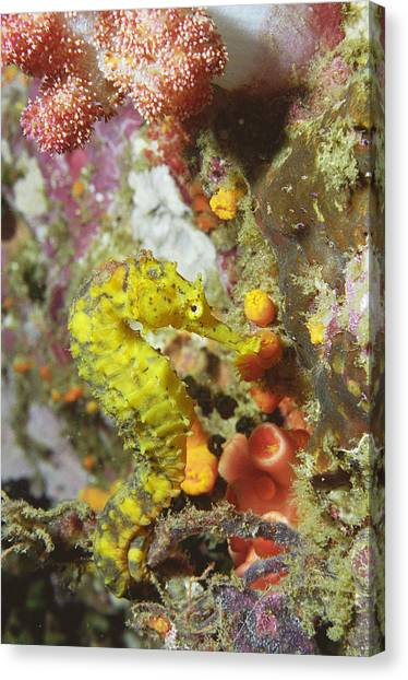 Yellow Seahorse Canvas Print by Peter Scoones